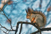 Squirrel on a branch. — Stock fotografie