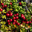 Stock Photo: Red, ripe berries cowberry in autumn tundra.