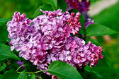 Syringa vulgaris. Gorgeously fragrant lilac blossoms. — Stock Photo