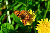 Butterfly on a flower a dandelion. — Foto de Stock