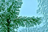 Hoarfrost covered pine branch. — Stock Photo