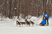 Dogsled l now becomes the sport. — 图库照片