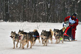 Dogsled now becomes the sport. — Stok fotoğraf