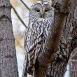 Night owl bird. — 图库照片