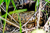 Venomous snake of dry grass and leaves. — Stock Photo