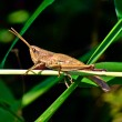 Stock Photo: Small grasshoppers.