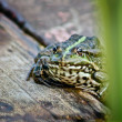 A hot summer day a frog on the lake. — Stock Photo