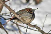 Sparrow - a inhabitant of the city parks. — Stockfoto