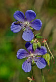 Flowers of wild geranium Lisno. — Stock Photo