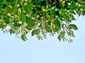 Linden blossom branches against the blue sky. — Stock Photo