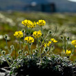 Arctic Chukotka. Flowers in the tundra. — Stock Photo