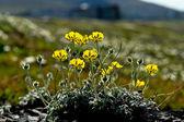 Arctic Chukotka. Flowers in the  tundra. — Stock Photo