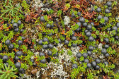 Crowberry berries covered tundra. — Foto de Stock
