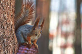 Squirrel in a pine forestd. — Stock Photo