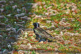Starling, à procura de comida. — Foto Stock