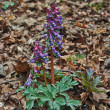Corydalis solida on spring forest thawed.     — Stock Photo #45210223