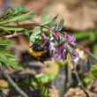 Bumblebee on flower Corydalis solida on spring forest. — Stock Photo #45210435
