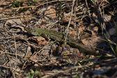 Green lizard   in the spring sunshine. — Stock Photo