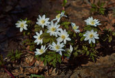 Snowdrops. Anemone nemorosa. — Stock Photo