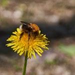 Bumblebee eats pollen on a flower . — Stock Photo #47146809