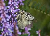 Butterfly Parnassius Mnemosyne. — Stock Photo
