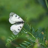 Butterfly Parnassius Mnemosyne . — Stock Photo