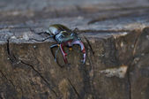 Male stag beetle  on an oak stump. — Stock Photo