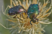 Chafer beetle   pollinating flowers. — Stock Photo