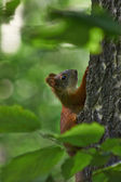 Squirrel in the summer forest. — Foto Stock