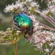 Chafer beetle. — Stock Photo #50622689