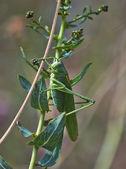 Pequeno gafanhoto verde na grama. — Foto Stock