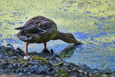 Floating duck  on the surface of the pond. — Stock Photo