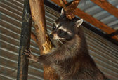 Raccoon in the zoo enclosure. — Стоковое фото