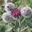 Downy Burdock or Woolly Burdock (Arctium Tomentosum) — Stock Photo
