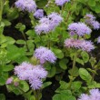 Flossflower (Ageratum Houstonianum) — Stock Photo