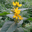Yellow Loosestrife (Lysimachia vulgaris) — Stock Photo