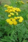 Common Tansy (Tanacetum vulgare) — Stock Photo