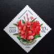 Постер, плакат: SOVIET UNION CIRCA 1981: A stamp printed in former SOVIET UNION shows Rhododendron Kotschyi which belongs to the flowers of Carpathians circa 1981