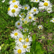 Stock Photo: Annual Fleabane (Erigeron annuus)