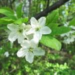 Cherry Tree in Bloom — Stock Photo #39562993