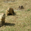 Stock Photo: Two Watchful Black-tailed Prairie Dogs (Cynomys ludovicianus)