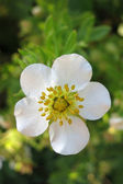 Shrubby Cinquefoil (Potentilla fruticosa) - white form — Stock Photo