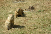 Two Watchful Black-tailed Prairie Dogs (Cynomys ludovicianus) — Stockfoto