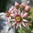 Stock Photo: Houseleek (Sempervivum tectorum) inflorescence