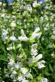 Common Sage (Salvia officinalis) - cultivar Alba — Stock Photo