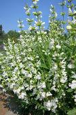 Common Sage (Salvia officinalis) - cultivar Alba — Stock Photo