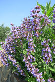 Common Sage (Salvia officinalis) - cultivar Purpurea — Stock Photo
