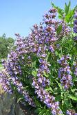 Common Sage (Salvia officinalis) - cultivar Purpurea — Stock Photo