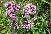 Oregano (Origanum vulgare) — Stock Photo