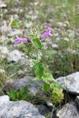 Wld basil (Clinopodium vulgare or Satureja vulgaris) — ストック写真